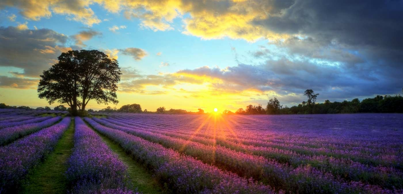 lavender-field3